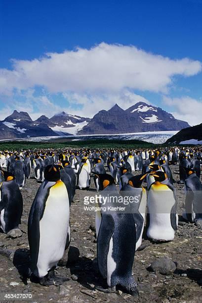 Antarctica South Georgia Salisbury Plain King Penguin Colony