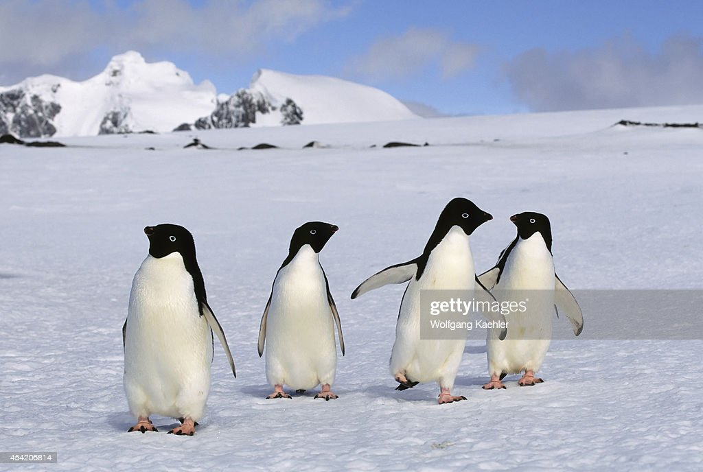 Antarctica South Orkney Island Laurie Island Adelie Penguins Walking On Snow