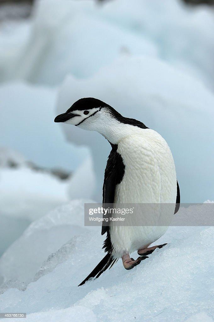 Antarctica South Orkney Islands Coronation Island Chinstrap Penguin On Ice Pebble Along Shore