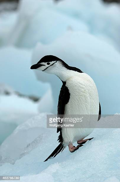 Antarctica South Orkney Islands Coronation Island Chinstrap Penguin On Ice Pebble Along Shore
