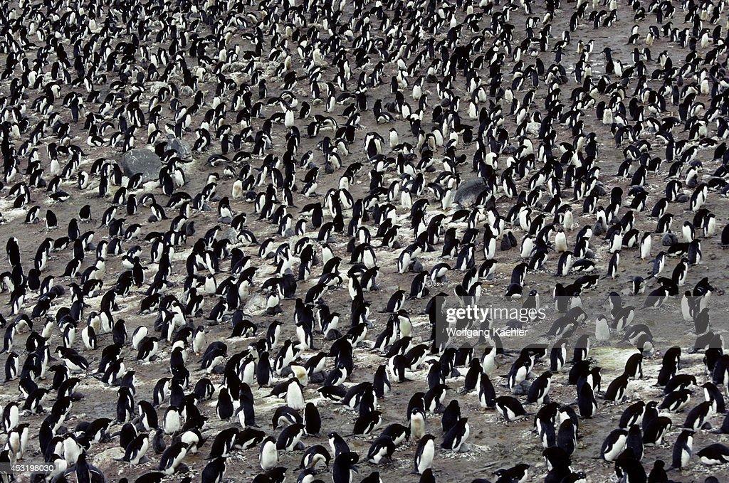 Antarctica South Shetland Is King George Island Lion's Rump Adelie Penguin Colony