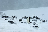 Antarctica South Shetland Islands King George Island Turret Point Adelie Penguin Colony In Stormy Weather Adelie Penguins Covered With Snow