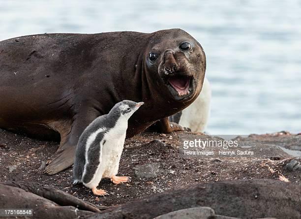 Antarctica, symbiosis between seal elephant and penguin