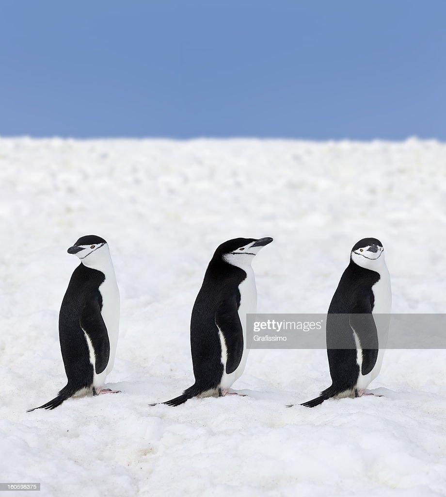 Antarctica three chinstrap penguins