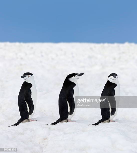 Antarctica three chinstrap penguins