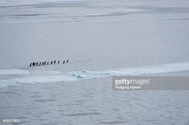Antarctica Weddell Sea Adelie Penguins Pygoscelis adeliae On Pack Ice