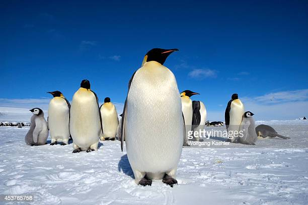 Antarctica Weddell Sea Snow Hill Island Emperor Penguin Colony Aptenodytes forsteri Penguins On Ice