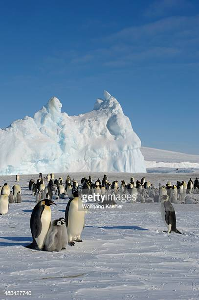 Antarctica Weddell Sea Snow Hill Island Emperor Penguin Colony Aptenodytes forsteri With Chicks On Fast Ice With Iceberg In Background
