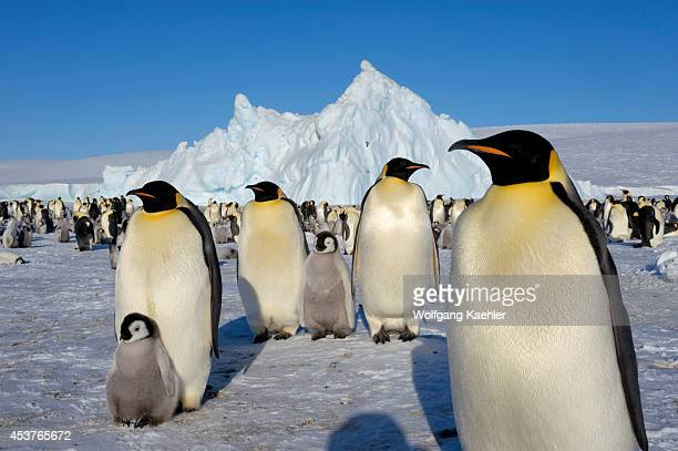 Antarctica Weddell Sea Snow Hill Island Emperor Penguin Colony Aptenodytes forsteri With Chicks Adults With Chicks In Foreground