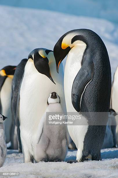 Antarctica Weddell Sea Snow Hill Island Emperor Penguins Aptenodytes forsteri Colony Couple With Chick