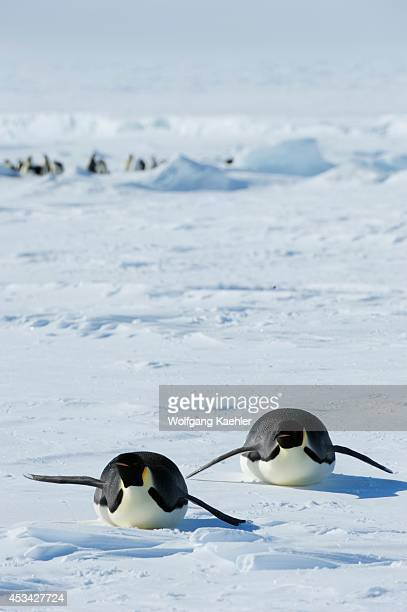 Antarctica Weddell Sea Snow Hill Island Emperor Penguins Aptenodytes forsteri Tobboganing On Fast Ice