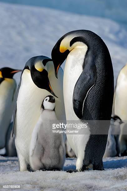 Antarctica Weddell Sea Snow Hill Island Emperor Penguins Aptenodytes forsteri Colony Couple With Chick