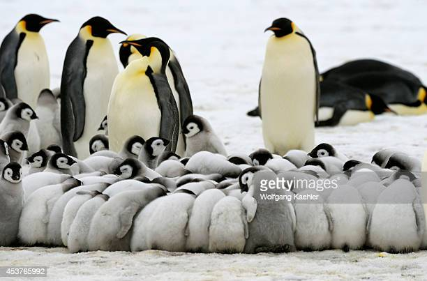 Antarctica Weddell Sea Snow Hill Island Emperor Penguins Aptenodytes forsteri Colony Chicks Huddling To Keep Warm