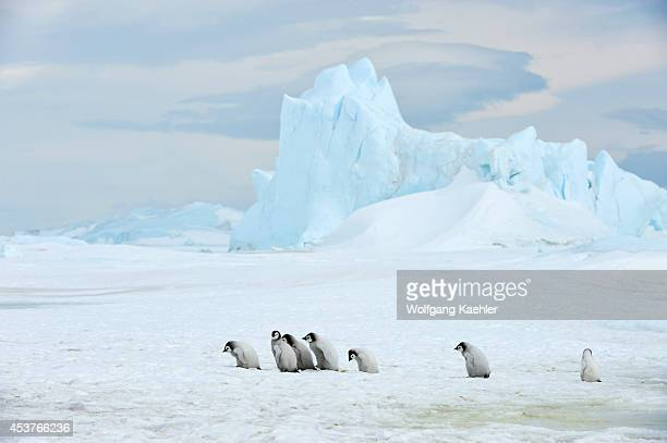 Antarctica Weddell Sea Snow Hill Island Emperor Penguins Aptenodytes forsteri Group Of Penguin Chicks Walking On Ice Iceberg In Background