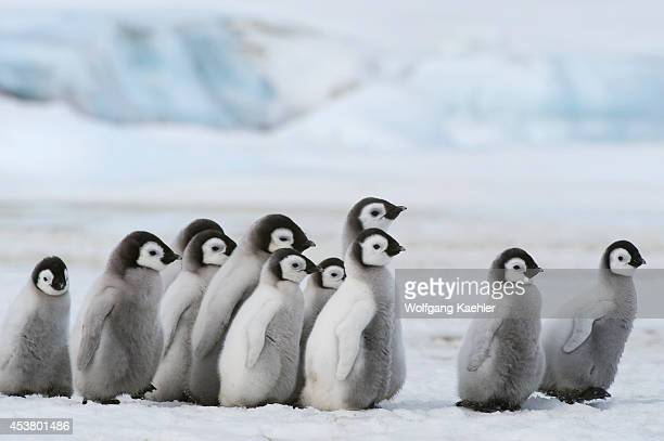 Antarctica Weddell Sea Snow Hill Island Emperor Penguins Aptenodytes forsteri Group Of Chicks Walking On Ice Between Sattelite Colonies