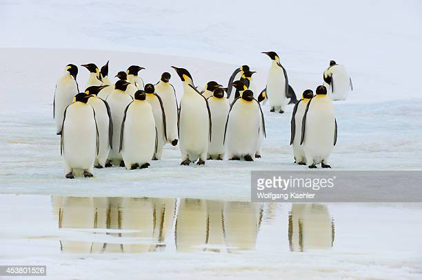 Antarctica Weddell Sea Snow Hill Island Emperor Penguins Aptenodytes forsteri On Fast Ice Reflections