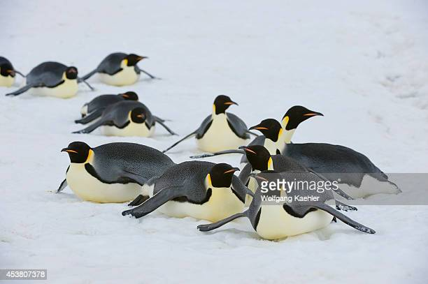 Antarctica Weddell Sea Snow Hill Island Emperor Penguins Aptenodytes forsteri Adult Penguins Tobogganing Over Ice