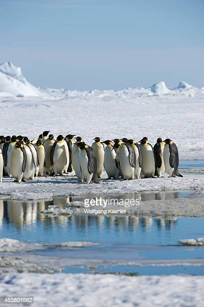 Antarctica Weddell Sea Snow Hill Island Group Of Emperor Penguins Aptenodytes forsteri On Fast Ice On The Way To Colony