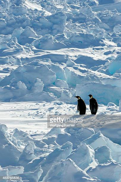 Antarctica Weddell Sea Snow Hill Island Two Emperor Penguin Aptenodytes forsteri In Pack Ice