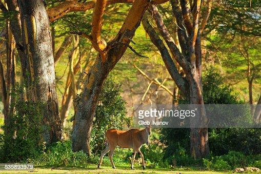 Antelope : Stock Photo