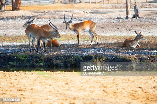 Antelopes having a rest in a park : Stock Photo
