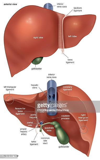 Anterior And Posterior Views Of The Liver
