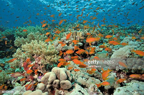 Anthias fishes and coral reef, Red Sea, Egypt