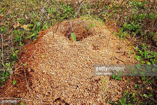 Ant-hill (Messor barbarus)