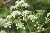Delicate flowers, of cow parsley or Queen Ann's lace