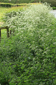 Cow parsley sylvestris znd nettles growing in profusion on a roadside verge.