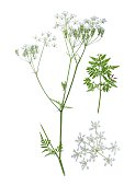 Cow parsley isolated on white background with details of bloom and leaf beside.