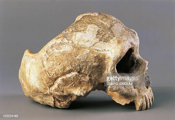 Anthropology Neanderthal man skull From Gibraltar