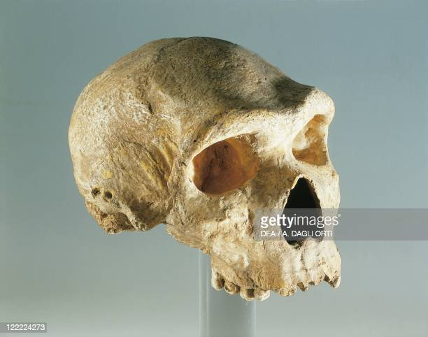 Anthropology Neanderthal man skull From Petralona