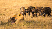 Hyena waiting for their share of the lion's kill.  Taken in the Masai Mara.