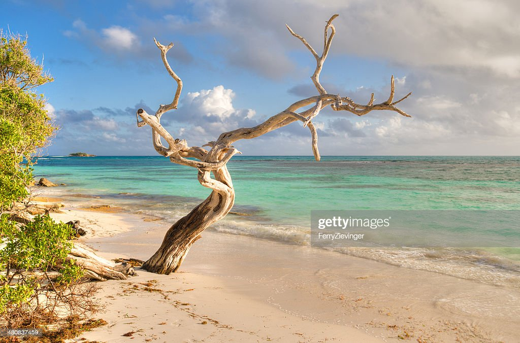 Antigua and Barbuda, Antigua, Dried-out tree on Jabberwock Beach