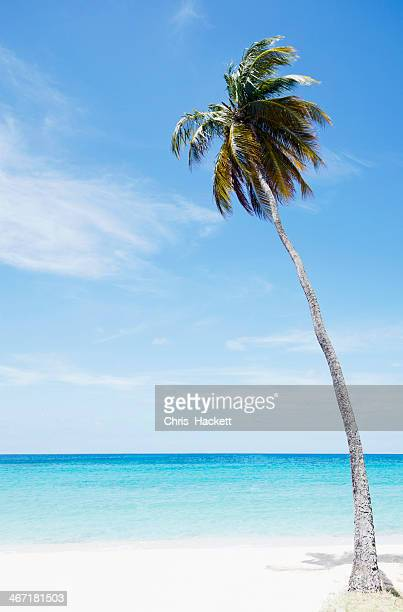 Antigua and Barbuda, Palm tree on beach