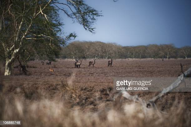 Antilopes stand in an open fiels on November 5 2010 in the Gorongosa National Park in MozambiqueGorongosa National Park is at the southern end of the...