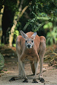 Antilopine kangaroo (Macropus antilopinus) standing, Australia