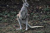 Antilopine kangaroo (Macropus antilopinus) standing on hind legs, watching, Australia