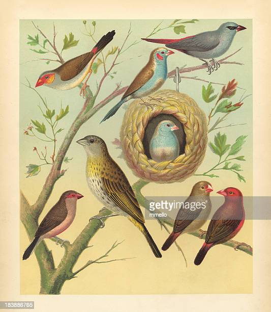Antique Bird Print - Canaries and Finches