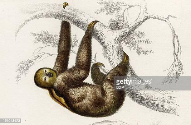 'Bradype A Dos Brule Bradypus Ou Acheus Ustus 1869 ' Mammal Tardigrade
