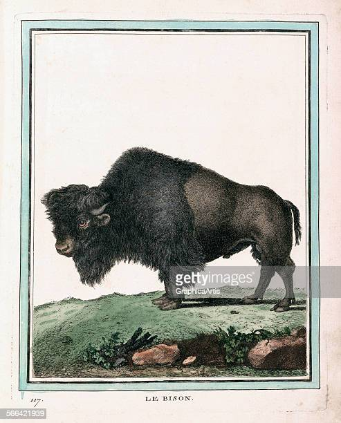 Antique illustration of an American bison or buffalo by Georges Louis Leclerc handcolored lithograph 1754