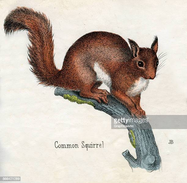 Antique print of a common squirrel from the illustrated book The Natural History of Animals handcolored engraving 1859