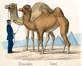 Antique print of a dromedary and camel from the illustrated book The Natural History of Animals 1859