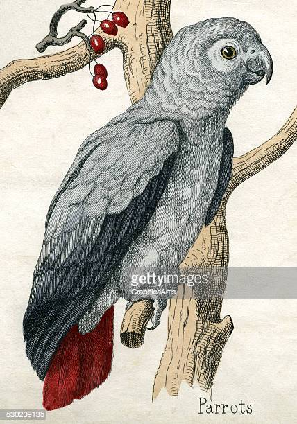 Antique print of a gray parrot from the illustrated book The Natural History of Animals 1859