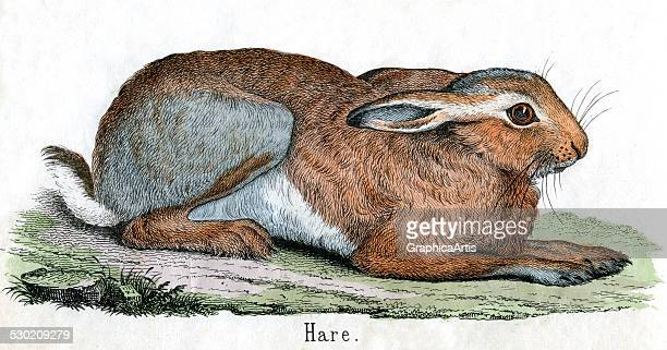 Antique print of a hare from the illustrated book The Natural History of Animals 1859