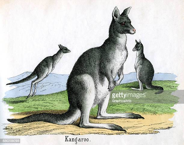 Antique print of a kangaroo from the illustrated book The Natural History of Animals 1859