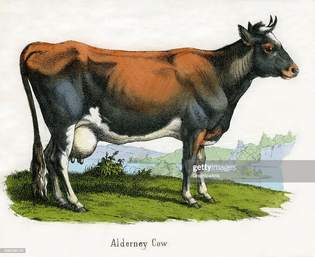 antique print of alderney cow pictures getty images