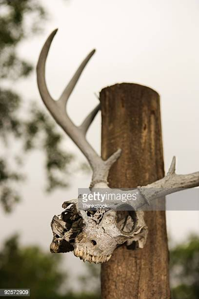 Antlers and skull mounted on post