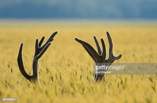 Antlers of a Red Deer -Cervus elaphus- in a grain field, Lower Austria, Austria